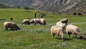 shepherds heads down 2